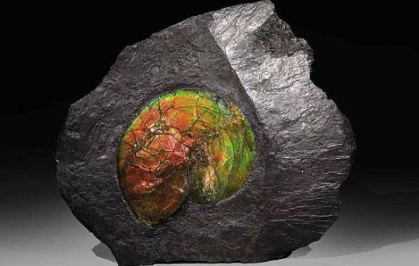 fossil mollusc