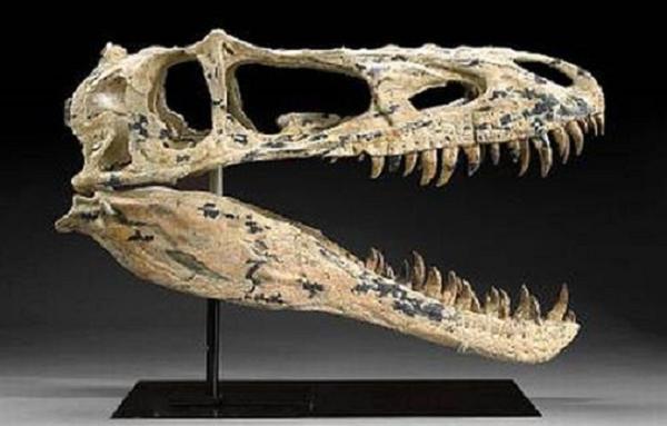 tyrannosaurid-skull