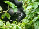 Mountain Gorrilla in Uganda