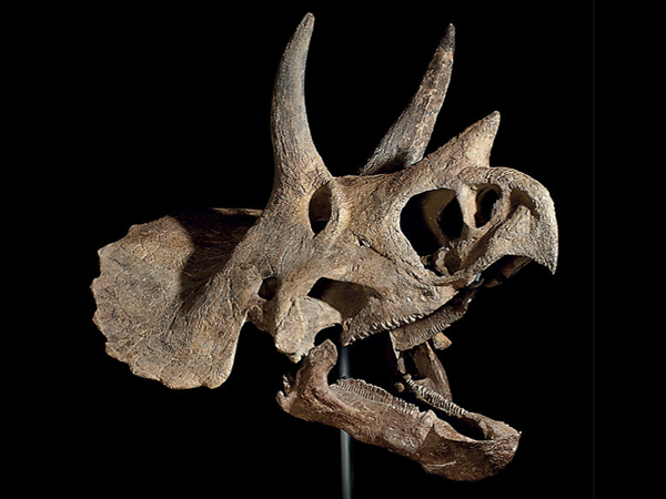The Triceratops skull